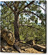 Pine Tree And Rocks Acrylic Print