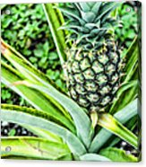 Pineapple Plant Acrylic Print by Frank Feliciano