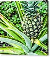 Pineapple Plant Acrylic Print