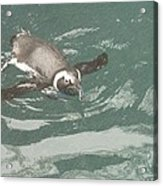 Pinguis Acrylic Print