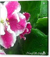 Pink African Violets And Leaves Acrylic Print