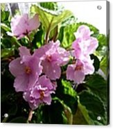 Pink African Violets Acrylic Print