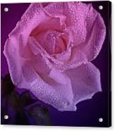 Pink And Blue Rose In The Rain Acrylic Print