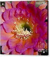 Pink And Orange Cactus Flower Acrylic Print
