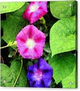 Pink And Purple Morning Glories Acrylic Print