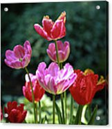 Pink And Red Tulips Acrylic Print