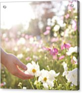 Pink And White Cosmos Flower Acrylic Print