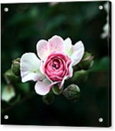 Pink And White Flower Acrylic Print