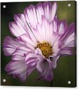 Pink And White Ruffled Cosmos Acrylic Print