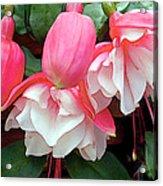 Pink And White Ruffled Fuschias Acrylic Print