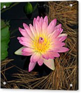 Pink And Yellow Water Lily Acrylic Print