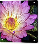 Pink And Yellow Waterlily Acrylic Print