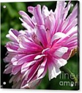 Pink Anemone From The St Brigid Mix Acrylic Print