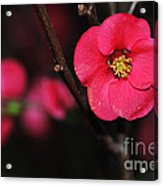 Pink Blossom In The Evening Acrylic Print