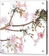 Pink Blossoms In Panama Acrylic Print