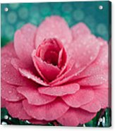 Pink Camellia Acrylic Print