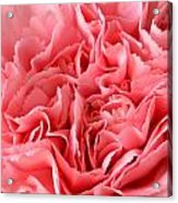 Pink Carnation Acrylic Print by JD Grimes