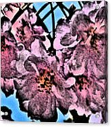 Pink Cherry - Black On Blue Acrylic Print by Jen White