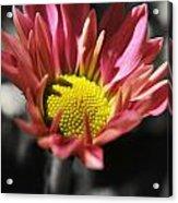 Pink Chrysanthemum Acrylic Print
