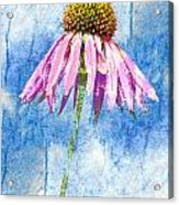 Pink Coneflower On Blue Acrylic Print