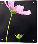 Pink Cosmos Acrylic Print