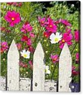 Pink Cosmos Flowers And White Picket Fence Acrylic Print