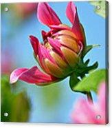 Pink Dahlia Poster Acrylic Print