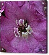 Pink Delphinium Acrylic Print