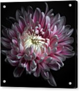 Pink Dhalia Acrylic Print