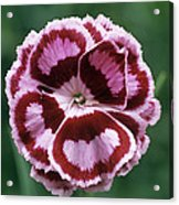 Pink (dianthus 'becky Robinson') Acrylic Print