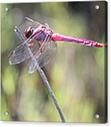 Pink Dragonfly In The Marsh Acrylic Print