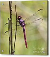 Pink Dragonfly With Sparkly Wings Acrylic Print
