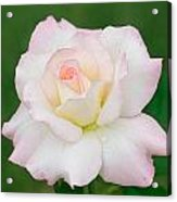 Pink Edge White Rose Acrylic Print