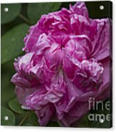 Pink English Rose Acrylic Print