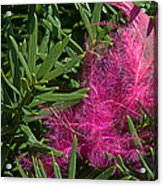 Pink Feather Acrylic Print