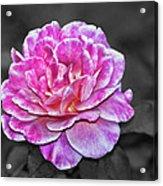 Pink Flame Acrylic Print