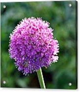 Pink Flower Ball Acrylic Print