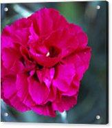 Pink Flower (dianthus 'carlotta') Acrylic Print