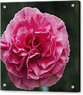 Pink Flower (dianthus 'clare') Acrylic Print