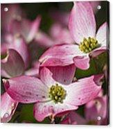 Pink Flowering Dogwood - Cornus Florida Rubra Acrylic Print