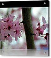 Pink Flowering Tree In Spring Framed Acrylic Print