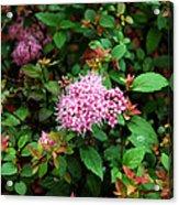 Pink Flowers Of Little Bavaria Acrylic Print