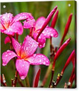 Pink Fluted Hibiscus In The Monsoons Acrylic Print