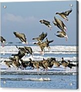 Pink-footed Geese On An Ice Floe Acrylic Print
