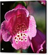 Pink Foxglove Acrylic Print
