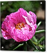 Pink Freckles Acrylic Print