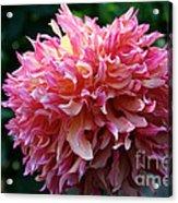 Pink Frills Acrylic Print
