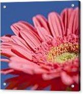 Pink Gerber 2 Acrylic Print by Al Hurley
