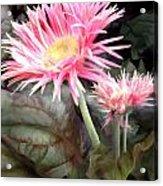 Pink Gerber Daisies Acrylic Print