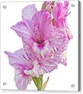Pink Gladiolus Acrylic Print